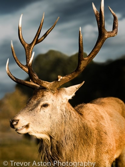 Smiling Stag
